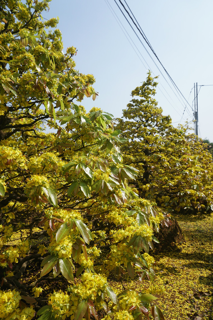 Ngắm hàng loạt cây mai cổ nở hoa vàng rực - Ảnh 4.