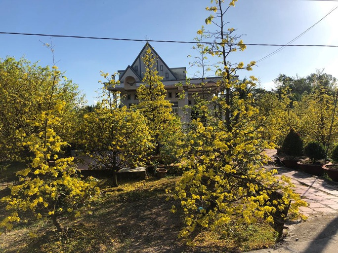 Lạ mắt vườn mai khủng có hoa vàng rực trổ từ ngọn tới rễ - Ảnh 8.