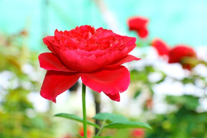 """""""Ngất ngây"""" với vườn hoa hồng Pháp tuyệt đẹp được tham quan miễn phí dịp Tết - Ảnh 2."""