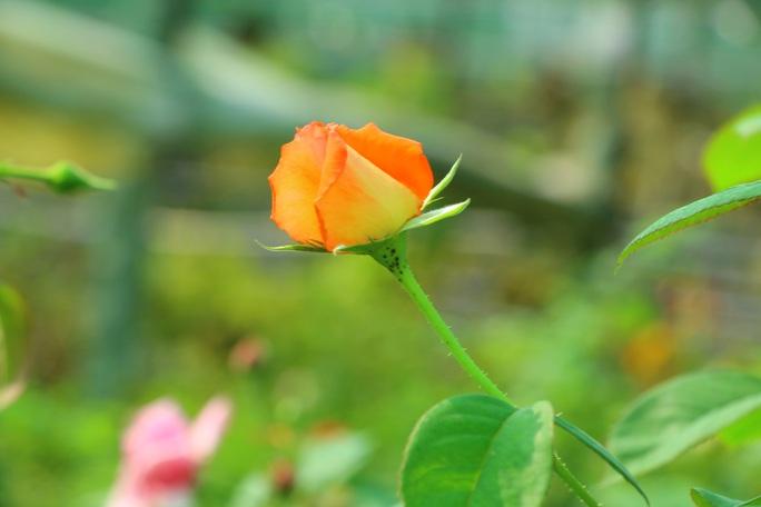 """""""Ngất ngây"""" với vườn hoa hồng Pháp tuyệt đẹp được tham quan miễn phí dịp Tết - Ảnh 3."""