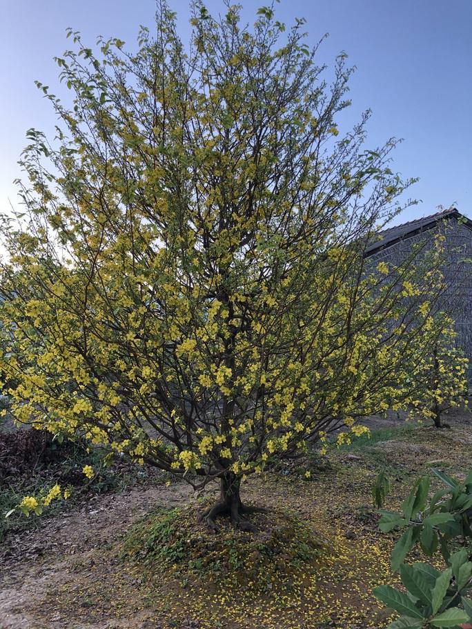 Lạ mắt vườn mai khủng có hoa vàng rực trổ từ ngọn tới rễ - Ảnh 2.