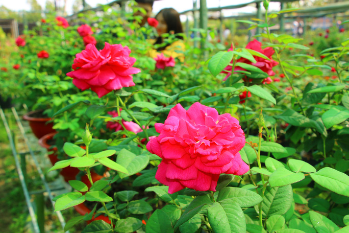 """""""Ngất ngây"""" với vườn hoa hồng Pháp tuyệt đẹp được tham quan miễn phí dịp Tết - Ảnh 4."""
