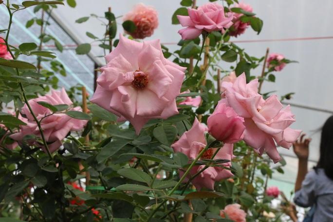 """""""Ngất ngây"""" với vườn hoa hồng Pháp tuyệt đẹp được tham quan miễn phí dịp Tết - Ảnh 5."""
