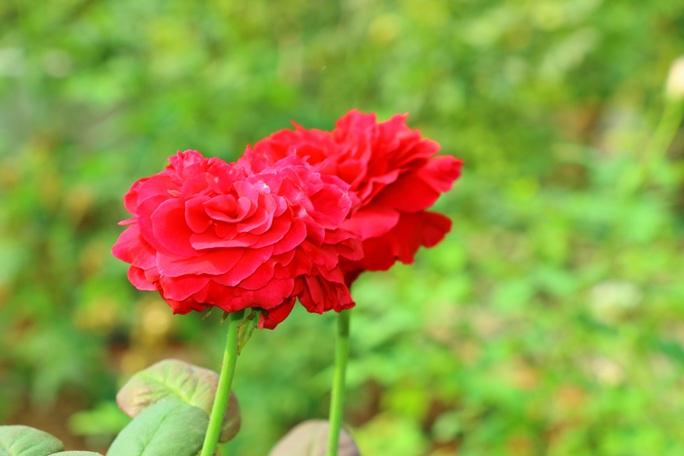 """""""Ngất ngây"""" với vườn hoa hồng Pháp tuyệt đẹp được tham quan miễn phí dịp Tết - Ảnh 6."""