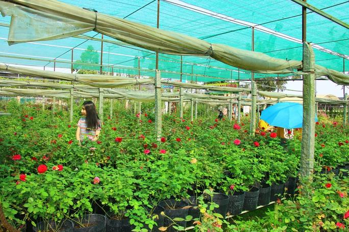"""""""Ngất ngây"""" với vườn hoa hồng Pháp tuyệt đẹp được tham quan miễn phí dịp Tết - Ảnh 8."""