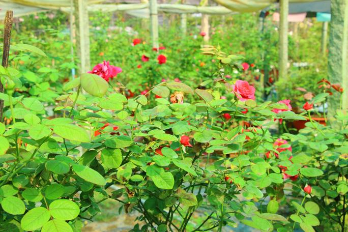 """""""Ngất ngây"""" với vườn hoa hồng Pháp tuyệt đẹp được tham quan miễn phí dịp Tết - Ảnh 9."""