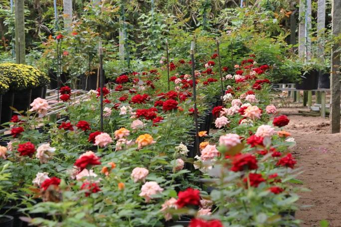 """""""Ngất ngây"""" với vườn hoa hồng Pháp tuyệt đẹp được tham quan miễn phí dịp Tết - Ảnh 12."""