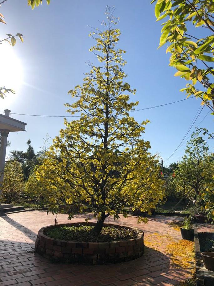 Lạ mắt vườn mai khủng có hoa vàng rực trổ từ ngọn tới rễ - Ảnh 4.