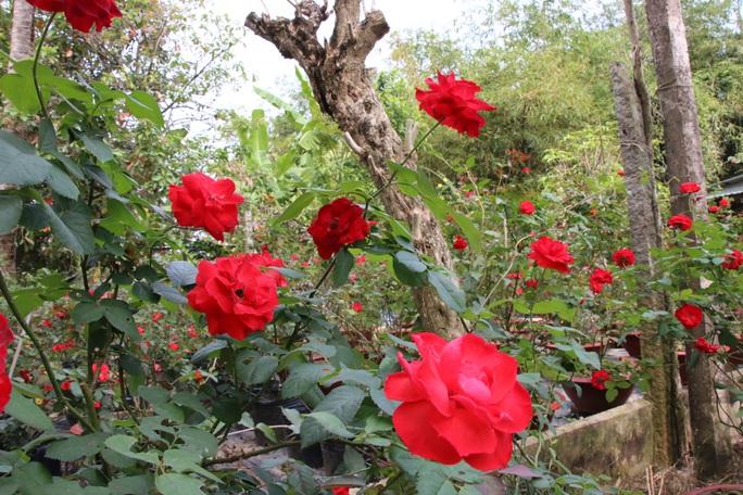 """""""Ngất ngây"""" với vườn hoa hồng Pháp tuyệt đẹp được tham quan miễn phí dịp Tết - Ảnh 11."""