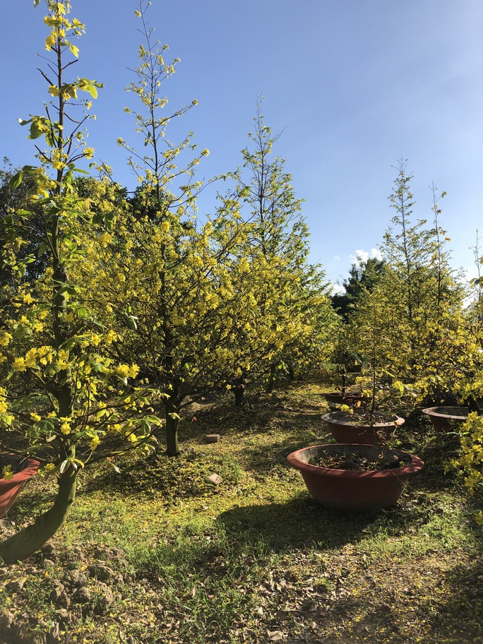 Lạ mắt vườn mai khủng có hoa vàng rực trổ từ ngọn tới rễ - Ảnh 5.