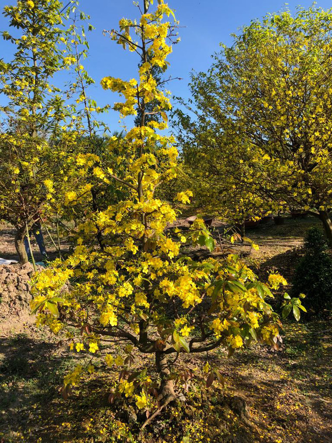Lạ mắt vườn mai khủng có hoa vàng rực trổ từ ngọn tới rễ - Ảnh 7.