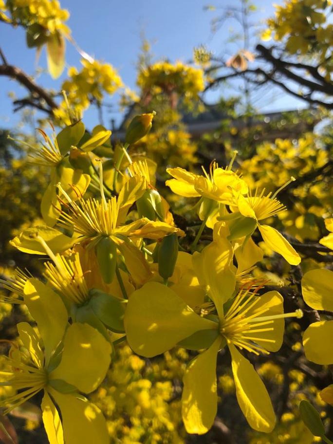Lạ mắt vườn mai khủng có hoa vàng rực trổ từ ngọn tới rễ - Ảnh 6.