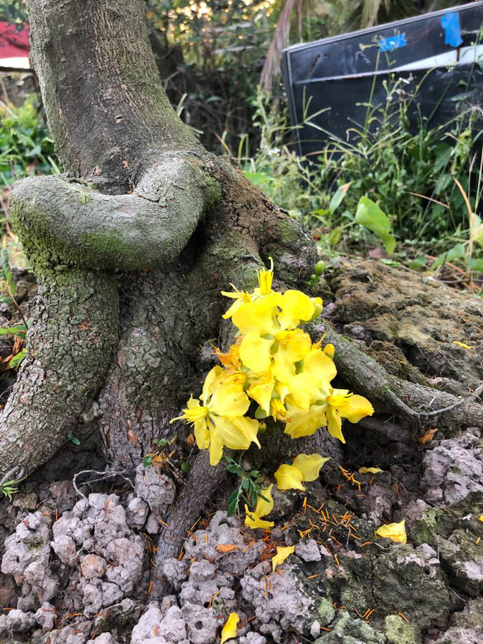 Lạ mắt vườn mai khủng có hoa vàng rực trổ từ ngọn tới rễ - Ảnh 9.