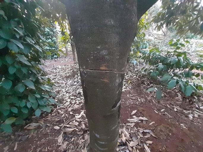 Điêu đứng phát hiện gần 60 cây sầu riêng bị chặt phá trong ngày Tết - Ảnh 2.
