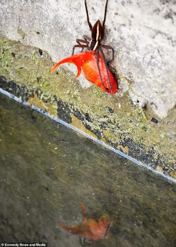 Nhện khổng lồ bắt cá vàng dưới hồ nước - Ảnh 2.