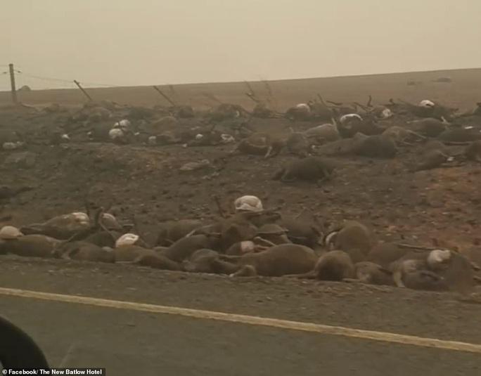 Cháy rừng Úc: Hàng ngàn con kangaroo, koala nằm chết la liệt bên đường - Ảnh 2.
