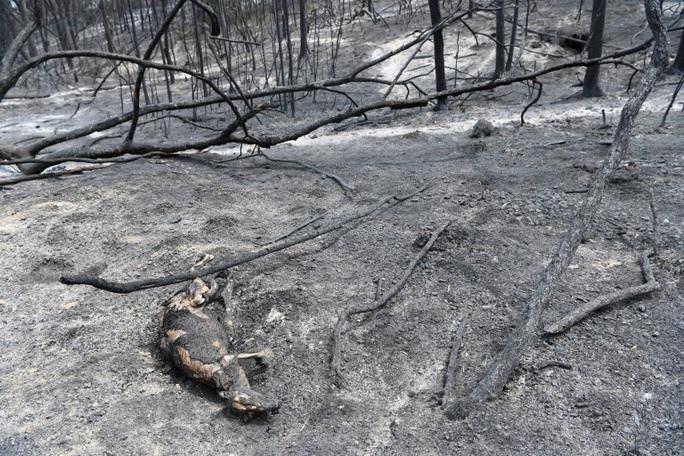 Cháy rừng Úc: Hàng ngàn con kangaroo, koala nằm chết la liệt bên đường - Ảnh 6.