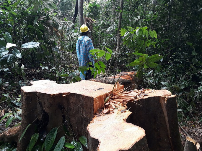 TÀN PHÁ THIÊN NHIÊN VÀ CÁI GIÁ PHẢI TRẢ (*): Mất rừng nguyên sinh, thiên tai khó lường - Ảnh 4.