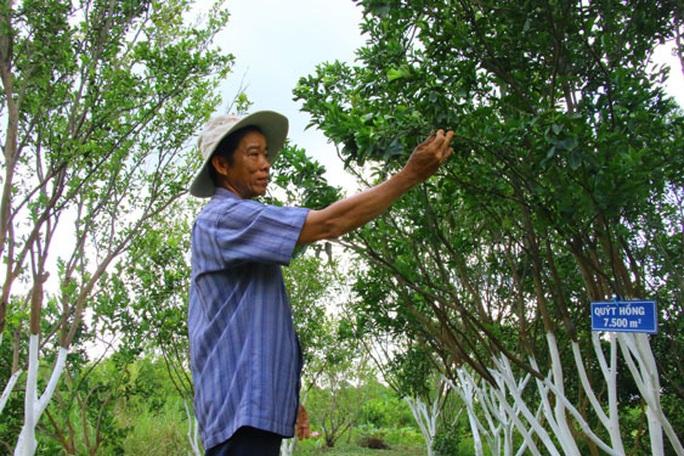 Bảo tồn quýt hồng Lai Vung - Ảnh 1.