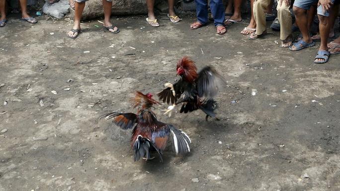Đột kích trường gà, cảnh sát Philippines tử vong vì cựa gà chọi  - Ảnh 1.