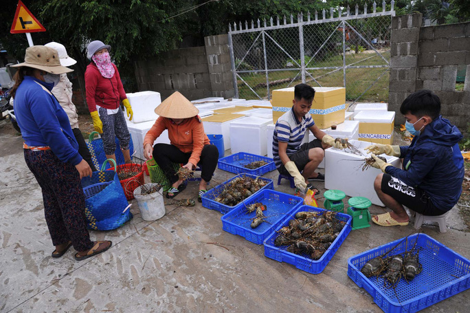 Quặn lòng trước cảnh tôm hùm chết hàng loạt ở Phú Yên - Ảnh 7.