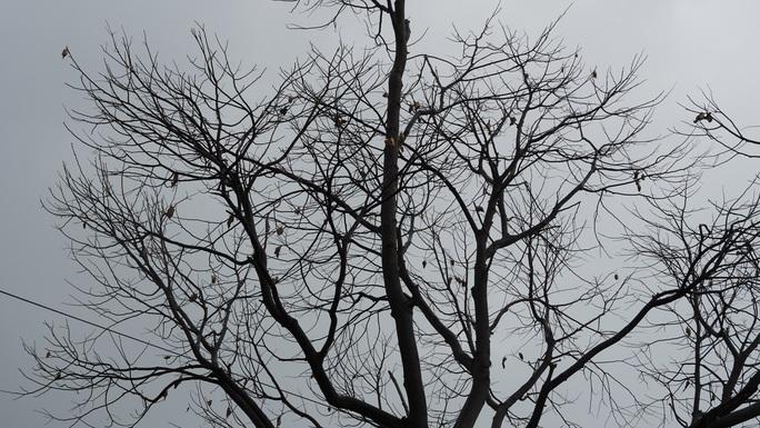 Hàng trăm cây xanh ở Vũng Tàu trụi lá vì sâu lạ tấn công - Ảnh 7.