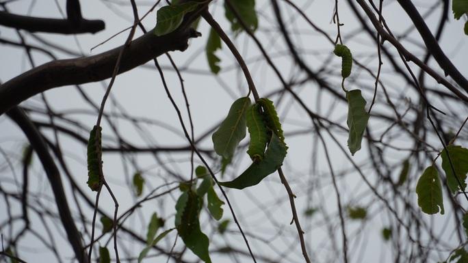 Hàng trăm cây xanh ở Vũng Tàu trụi lá vì sâu lạ tấn công - Ảnh 5.