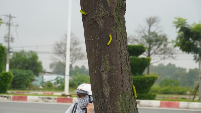 Hàng trăm cây xanh ở Vũng Tàu trụi lá vì sâu lạ tấn công - Ảnh 6.