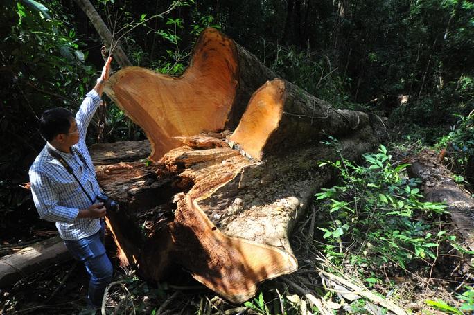 Nhóm đối tượng chặt hạ gỗ hương cổ thụ quý hiếm ra đầu thú - Ảnh 1.