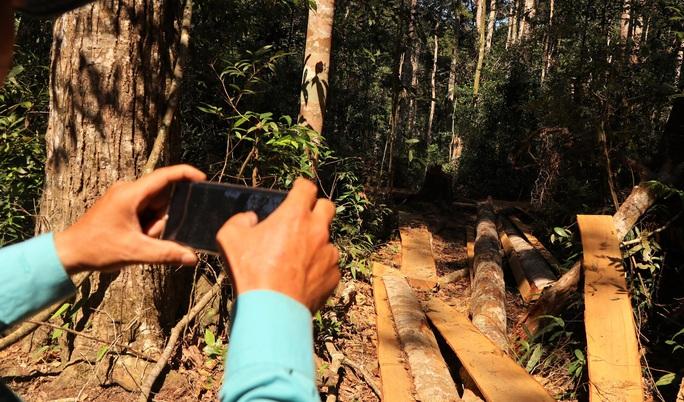 Clip: Kinh hoàng lâm tặc phá nát rừng bạch tùng hàng trăm năm tuổi ở Lâm Đồng - Ảnh 3.