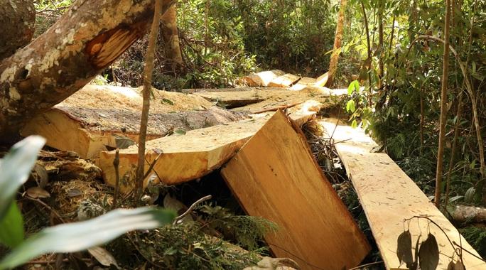 Clip: Kinh hoàng lâm tặc phá nát rừng bạch tùng hàng trăm năm tuổi ở Lâm Đồng - Ảnh 8.