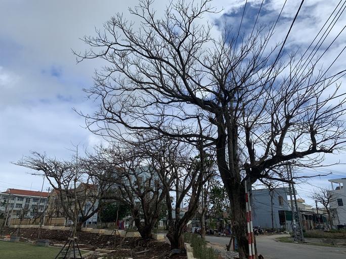Hàng chục ngàn cây xanh trên đảo Lý Sơn bị bão vặt trụi lá  - Ảnh 15.