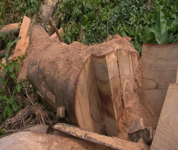 Còn phá rừng, còn thảm họa thiên tai: Rừng nguyên sinh bị rút ruột mỗi ngày - Ảnh 2.