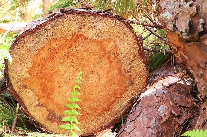 Bắt tạm giam đối tượng phá rừng ở Lâm Đồng - Ảnh 4.