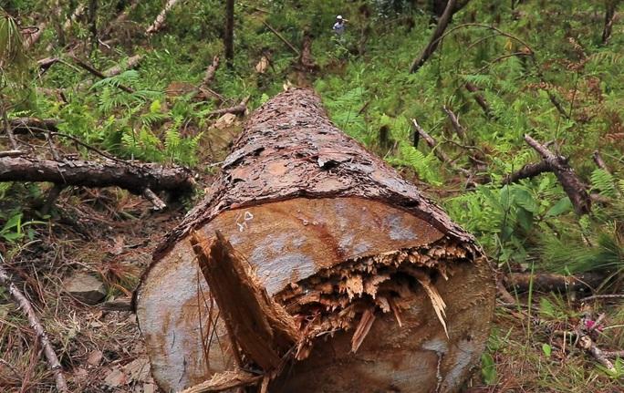 Bắt tạm giam đối tượng phá rừng ở Lâm Đồng - Ảnh 6.