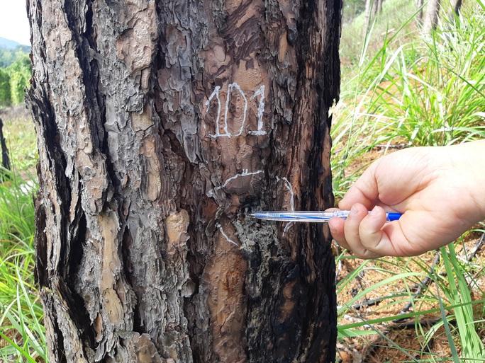 Cán bộ địa phương dung túng việc đầu độc rừng thông tuyệt đẹp ven đường Hồ Chí Minh - Ảnh 3.