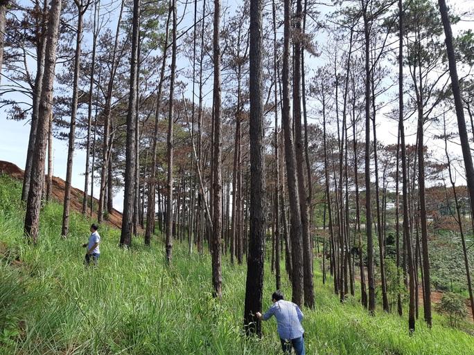 Cán bộ địa phương dung túng việc đầu độc rừng thông tuyệt đẹp ven đường Hồ Chí Minh - Ảnh 1.