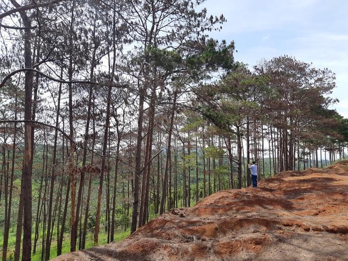 Cán bộ địa phương dung túng việc đầu độc rừng thông tuyệt đẹp ven đường Hồ Chí Minh - Ảnh 2.