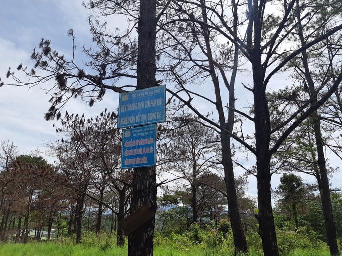 Cán bộ địa phương dung túng việc đầu độc rừng thông tuyệt đẹp ven đường Hồ Chí Minh - Ảnh 4.