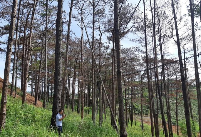 Dung túng việc đầu độc rừng thông - Ảnh 1.