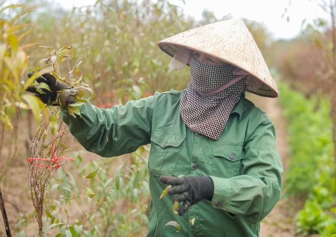 CLIP: Cận cảnh người dân làng đào Nhật Tân nhộn nhịp tuốt lá đào chuẩn bị dịp tết - Ảnh 3.