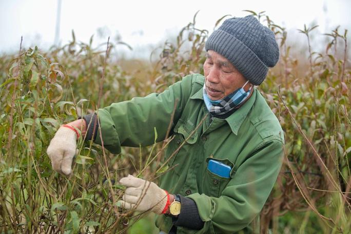 CLIP: Cận cảnh người dân làng đào Nhật Tân nhộn nhịp tuốt lá đào chuẩn bị dịp tết - Ảnh 4.