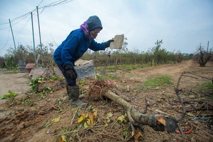 CLIP: Cận cảnh người dân làng đào Nhật Tân nhộn nhịp tuốt lá đào chuẩn bị dịp tết - Ảnh 6.
