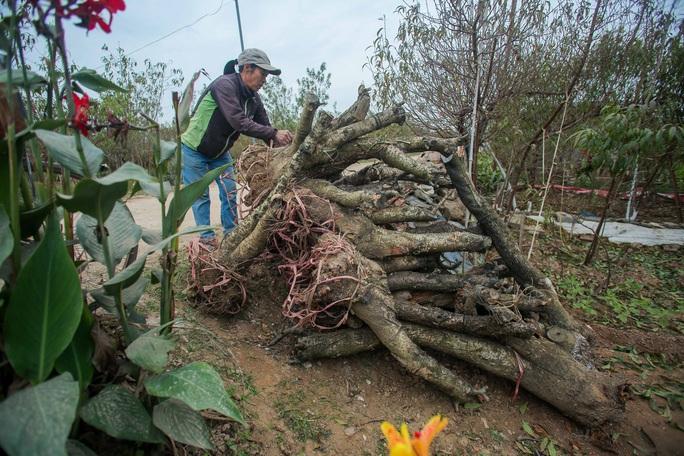 CLIP: Cận cảnh người dân làng đào Nhật Tân nhộn nhịp tuốt lá đào chuẩn bị dịp tết - Ảnh 7.