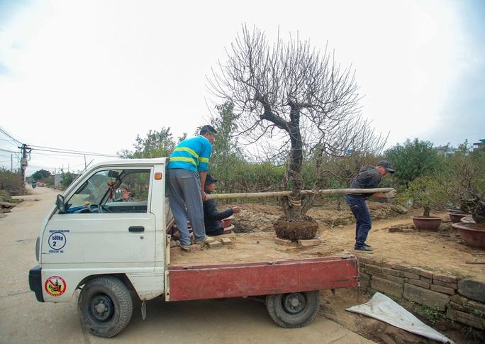 CLIP: Cận cảnh người dân làng đào Nhật Tân nhộn nhịp tuốt lá đào chuẩn bị dịp tết - Ảnh 8.
