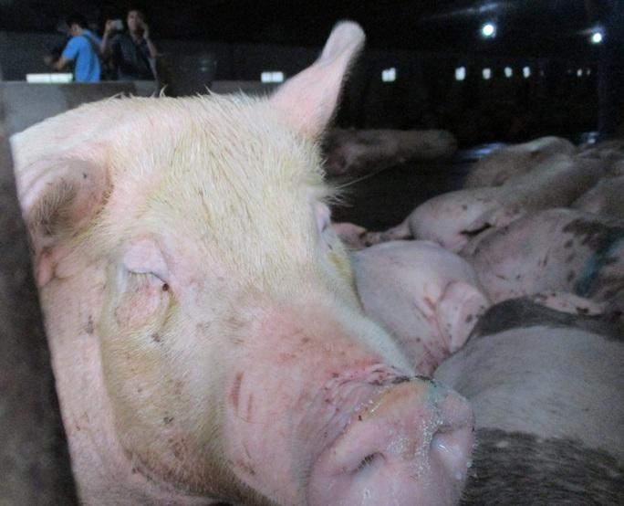 Hơn 300.000 con heo Thái Lan đã đánh tan cơn sốt giá thịt heo trong nước - Ảnh 1.