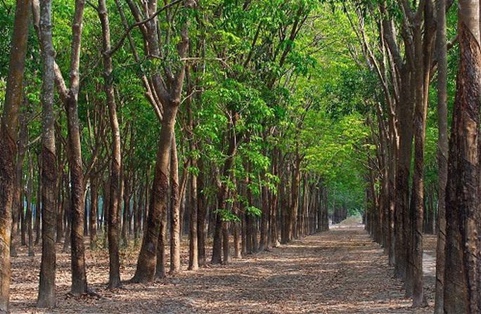 Giám đốc nông trường cao su khai man để làm sổ đỏ hơn 7.800 m2 đất - Ảnh 1.