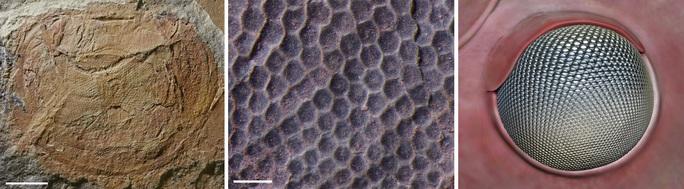 30 con mắt trong đá hé lộ quái vật khủng khiếp 500 triệu tuổi - Ảnh 3.