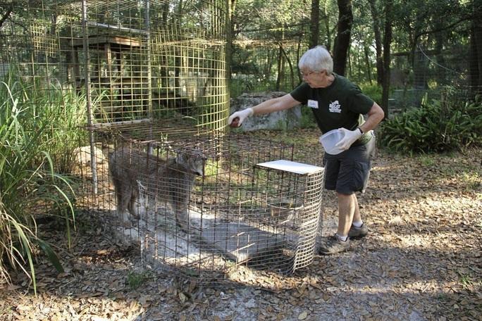 Mỹ: Cho hổ ăn, bị cắn gần đứt lìa cánh tay - Ảnh 1.