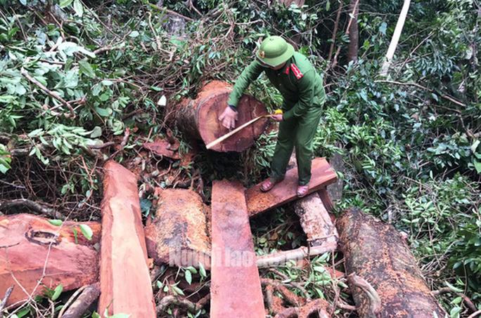 """Bắt giữ """"Sơn Lập"""" cùng đàn em mang súng, máy cưa vào rừng Trường Sơn phá hơn 30m3 gỗ quý - Ảnh 3."""